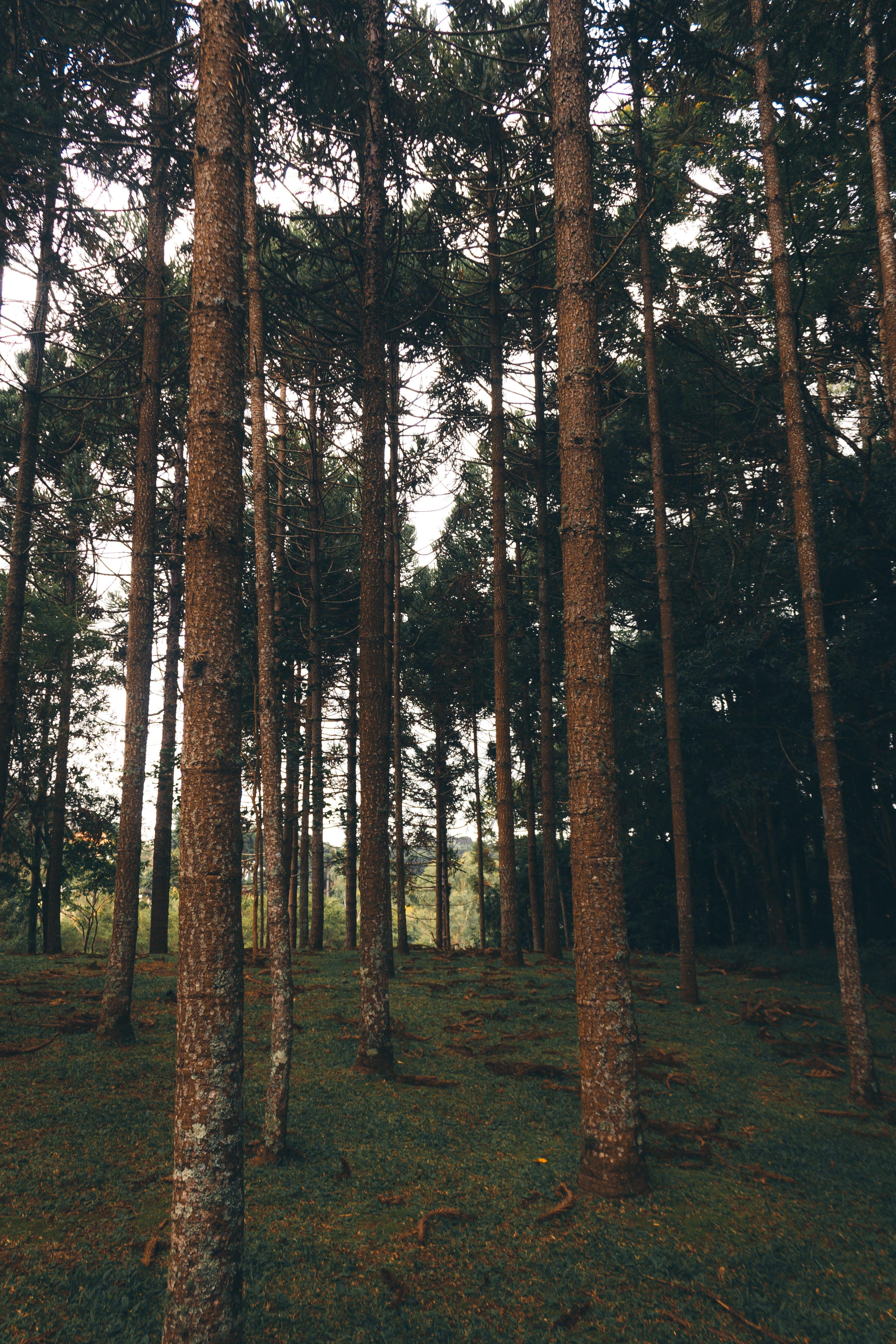 barrträd, fredlig, Granar