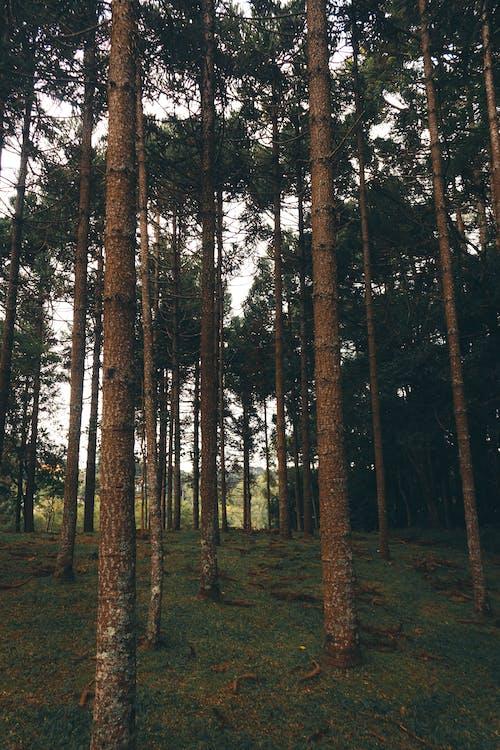 Photos gratuites de à feuilles persistantes, arbres, calme, conifères