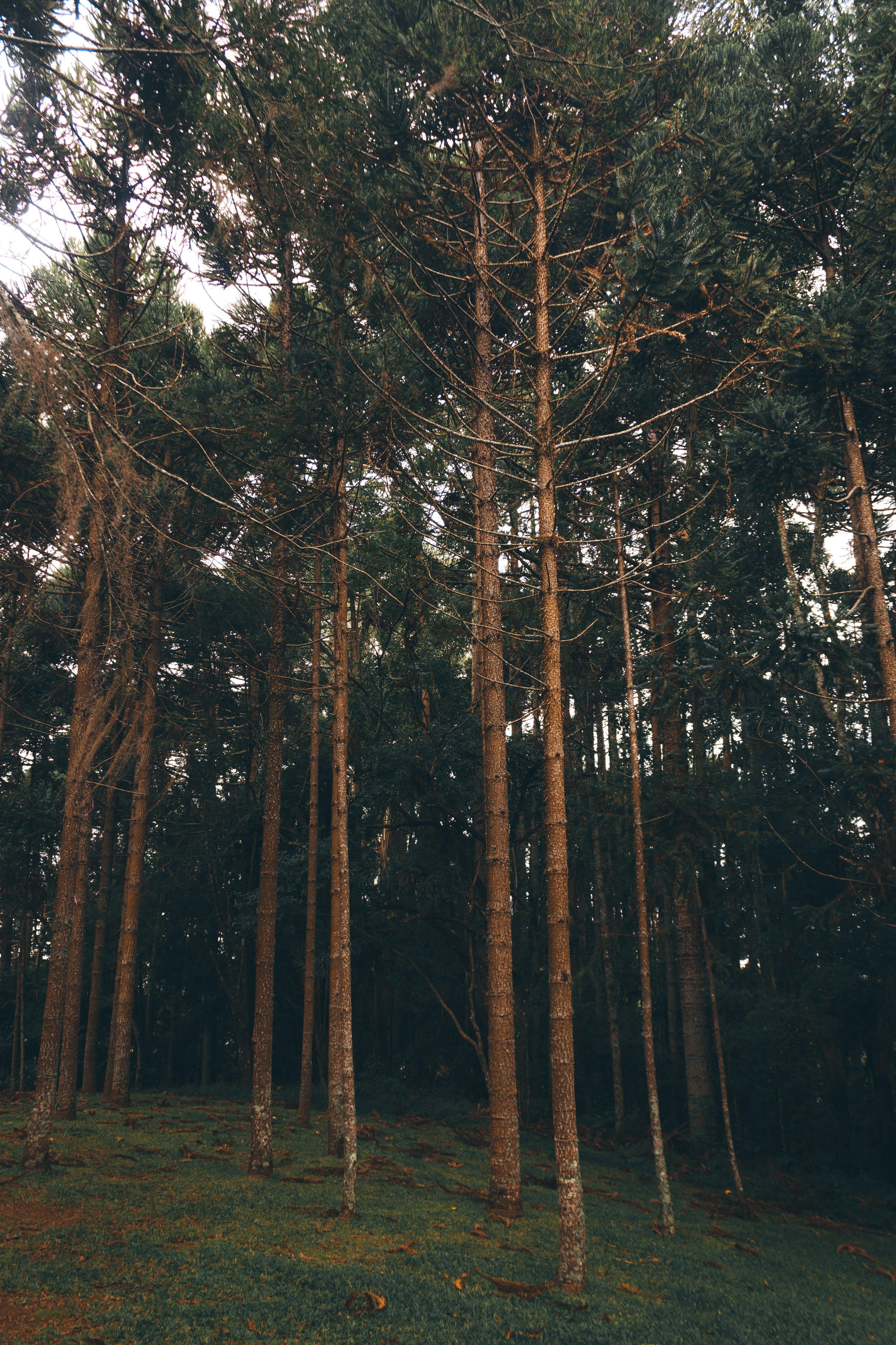 Gratis lagerfoto af fredelig, fyrretræer, grene, idyllisk