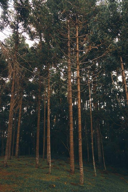 Бесплатное стоковое фото с ветви, ветви деревьев, вечнозеленый, деревья