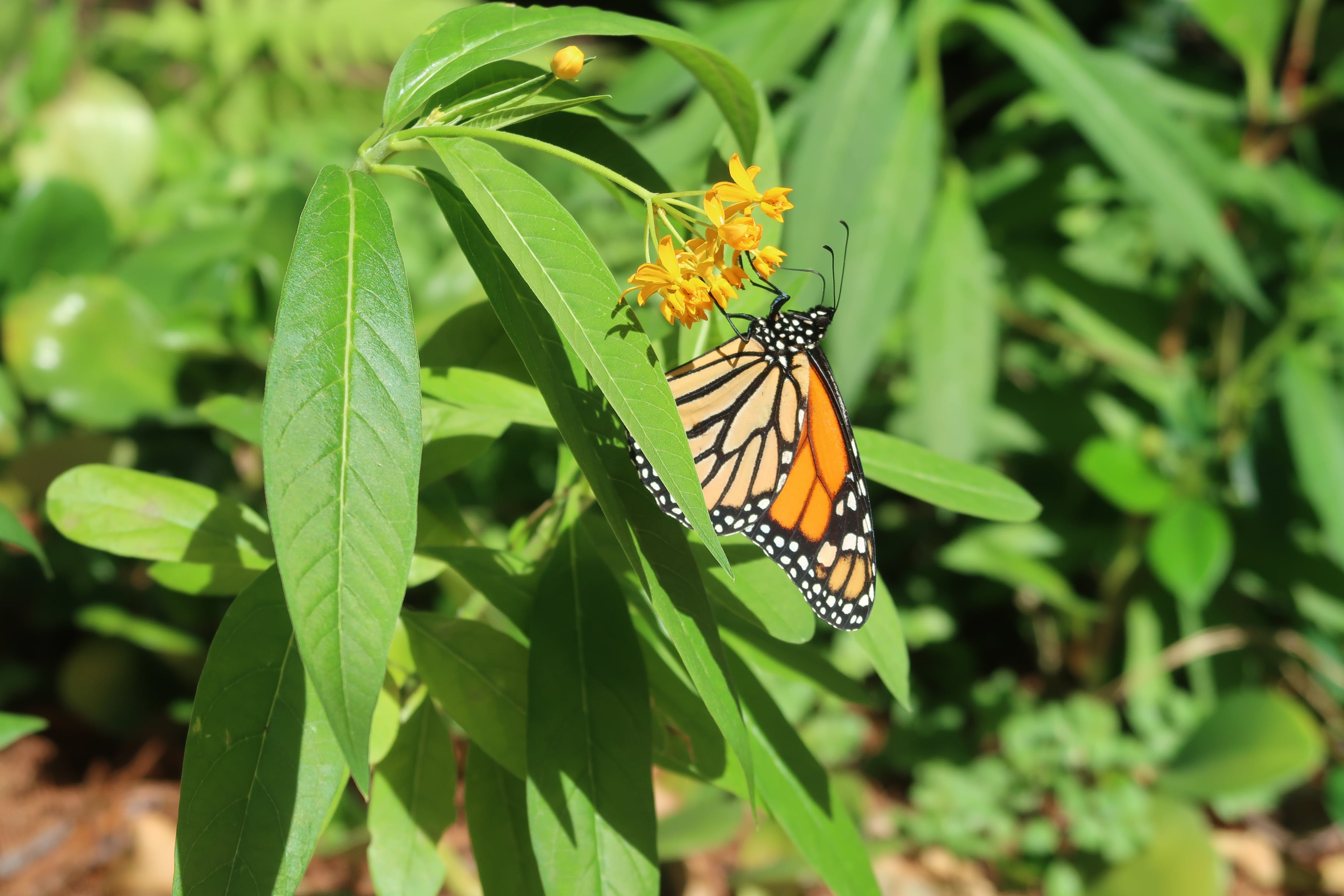 Free stock photo of botanical garden, butterfly, flower, garden