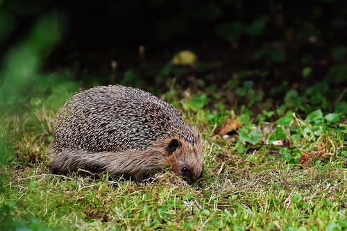 Brown Hedgehog on Grass