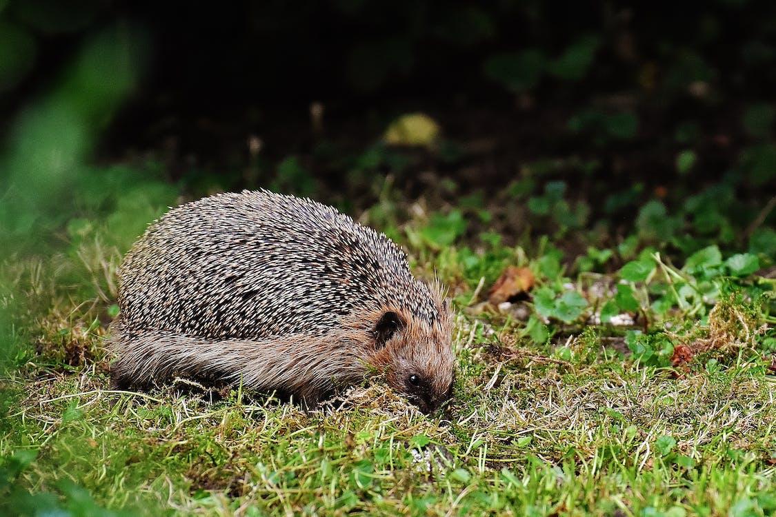 Brown Hedgehog on Grass