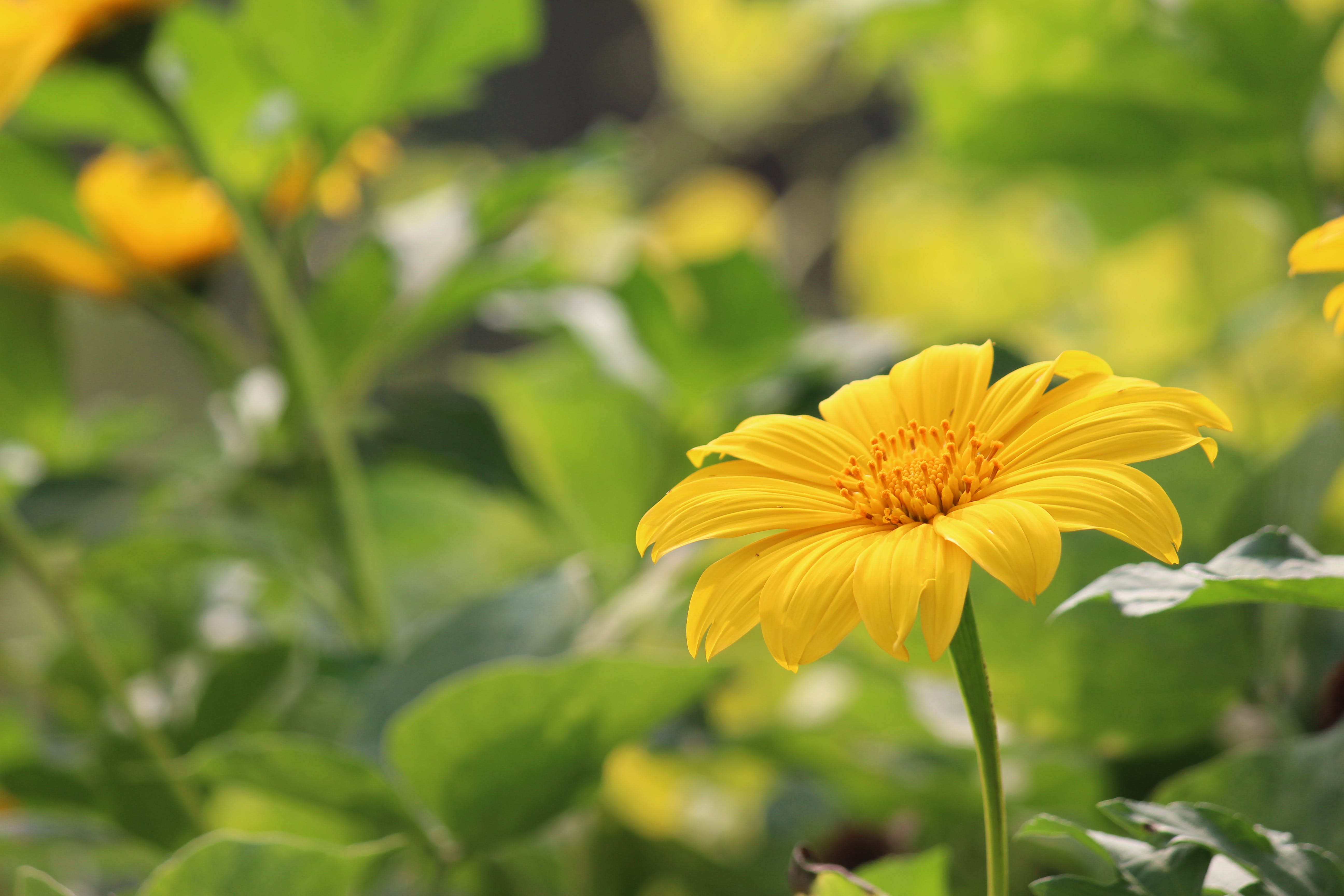 Gratis lagerfoto af # solsikke # photo # fotografier # fotografering, #natur, 4k-baggrund, Canon