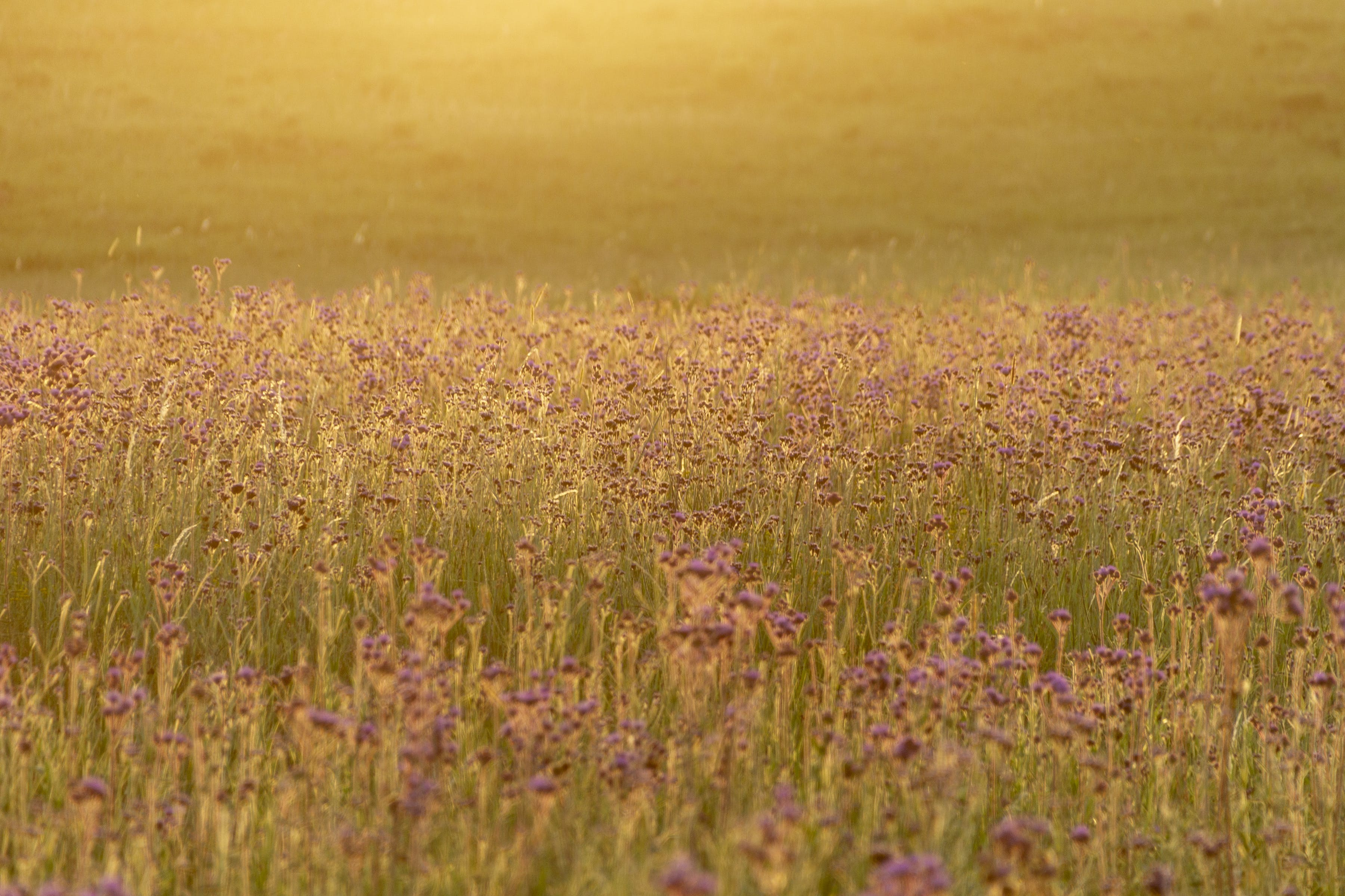Free stock photo of field of flowers, flowers, sunset