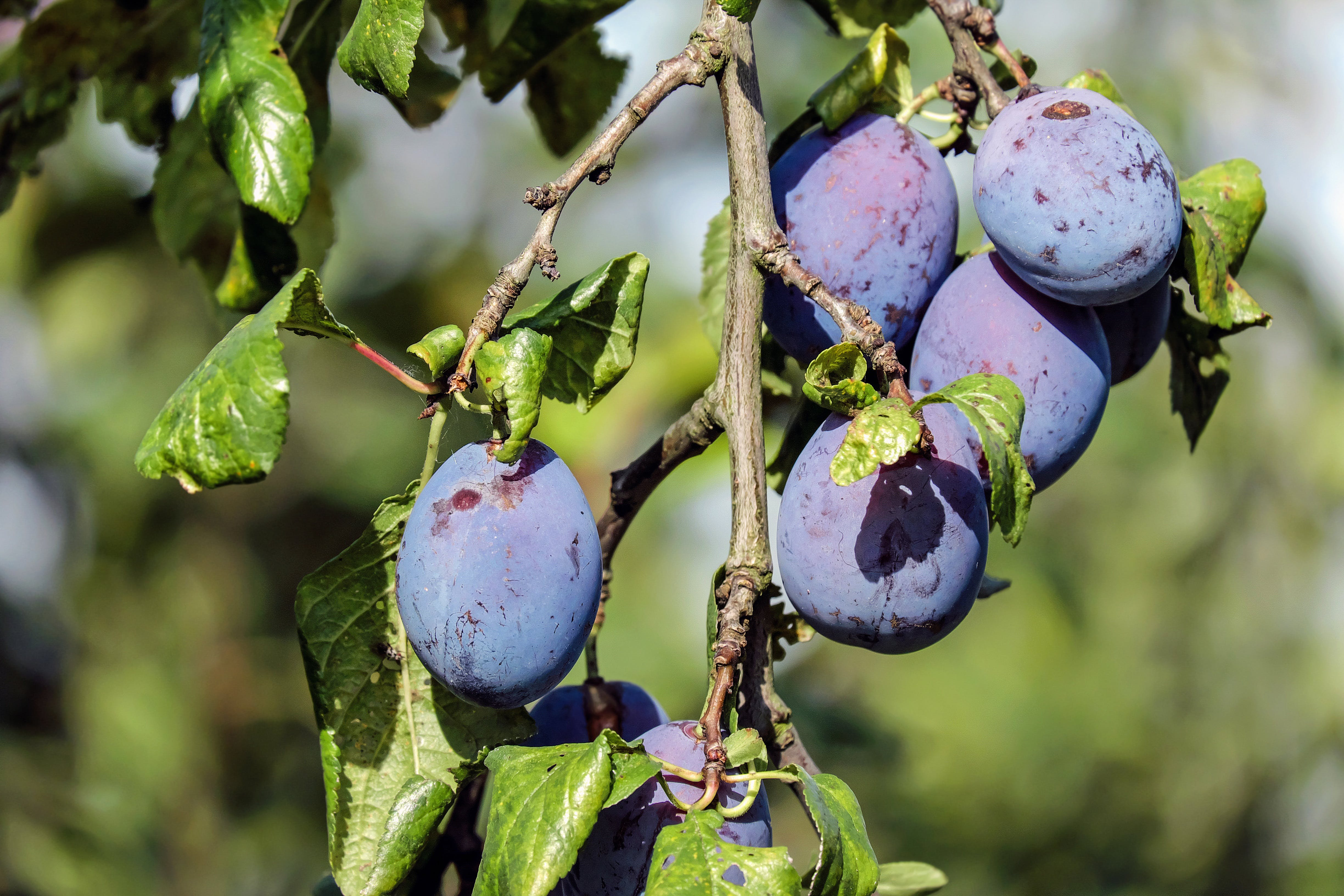 Shallow Focus Photograph Purple Round Fruit
