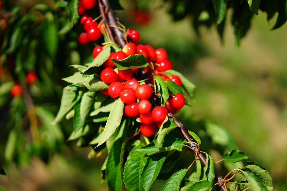 Shallow Focus Photography of Red Round Fruits