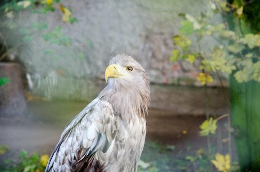 Free stock photo of bird, animal, eagle, eag
