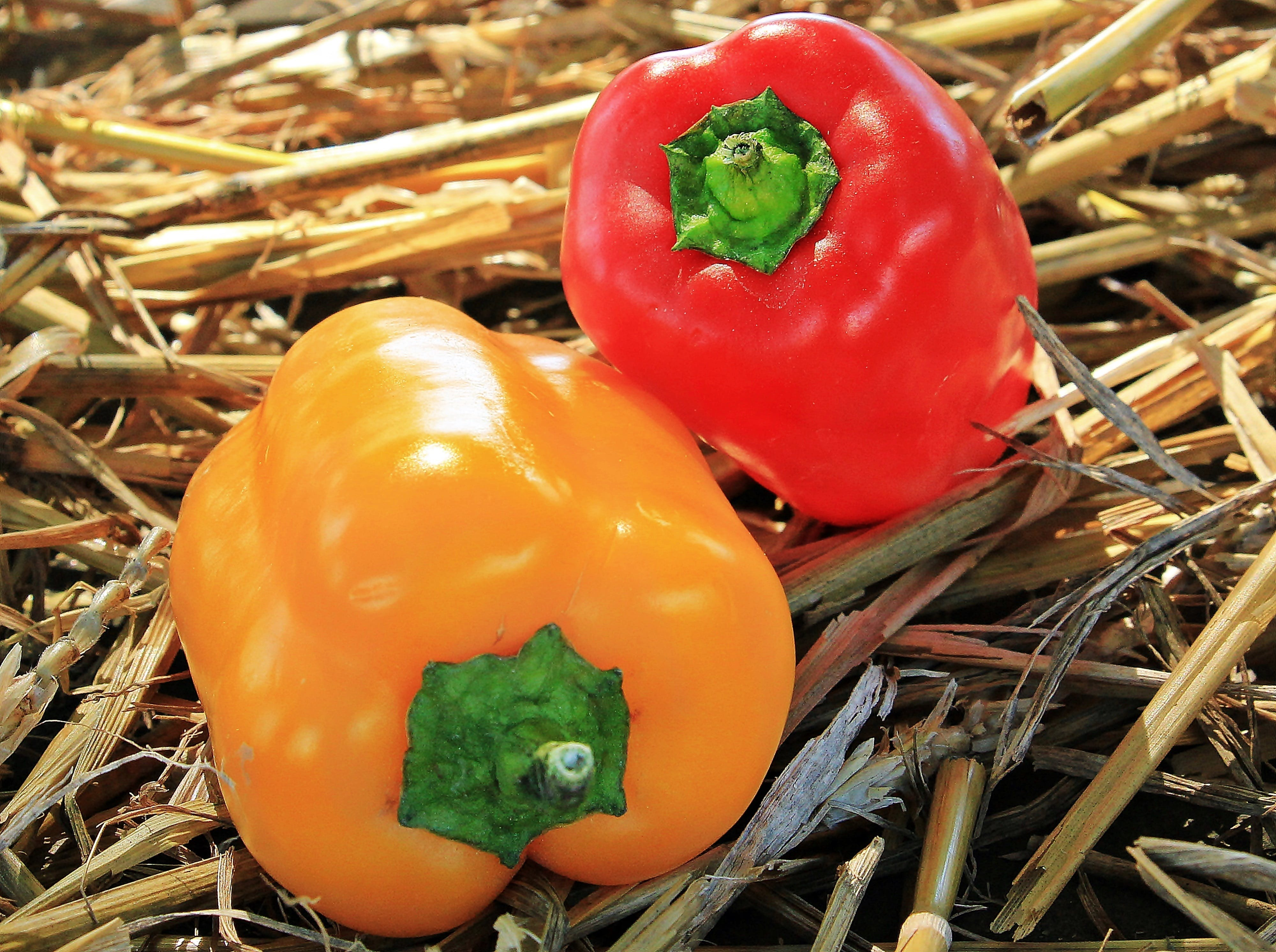 Two Yellow and Red Peppers on Brown Dried Plants