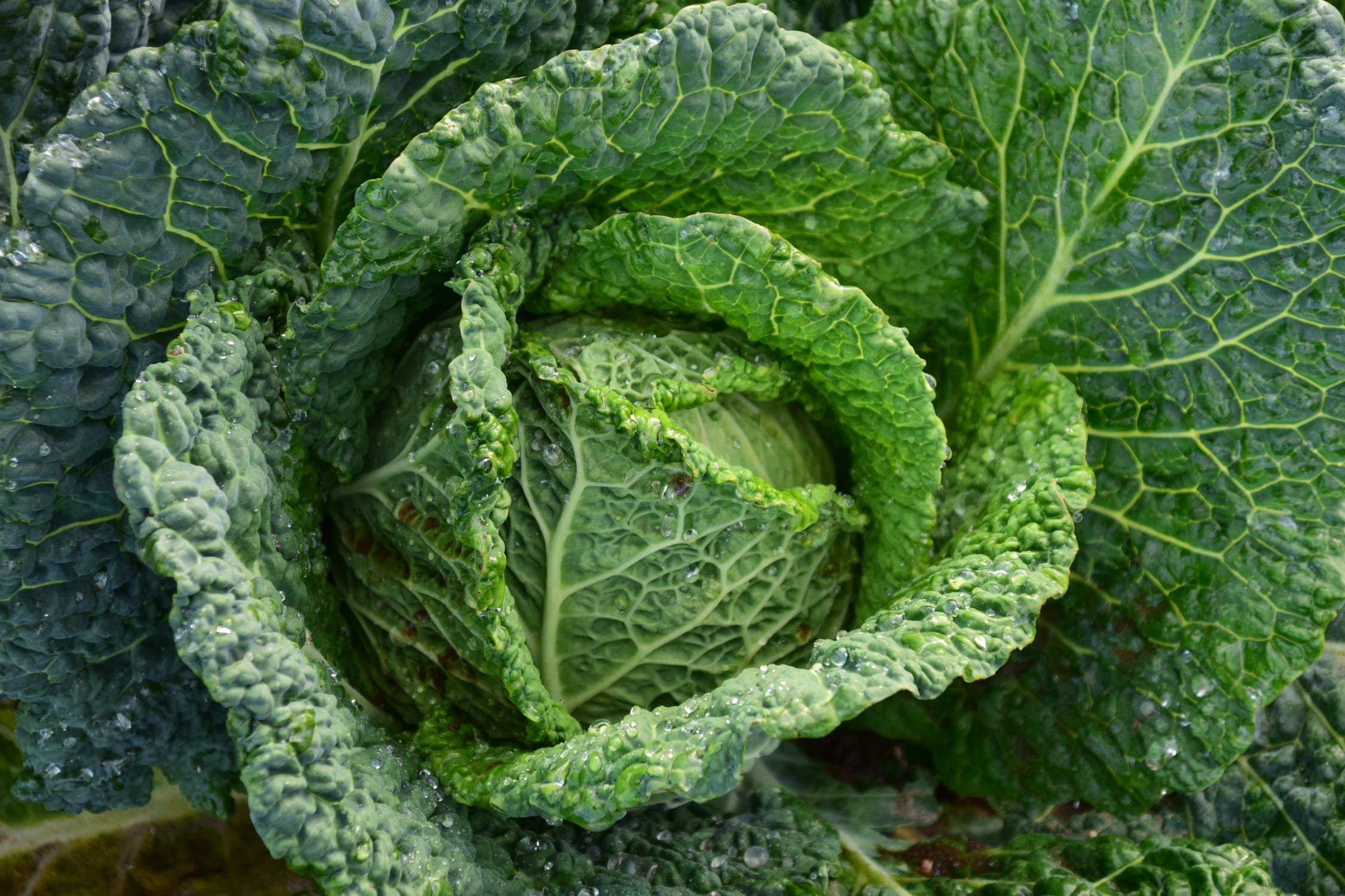 China cabbage picture