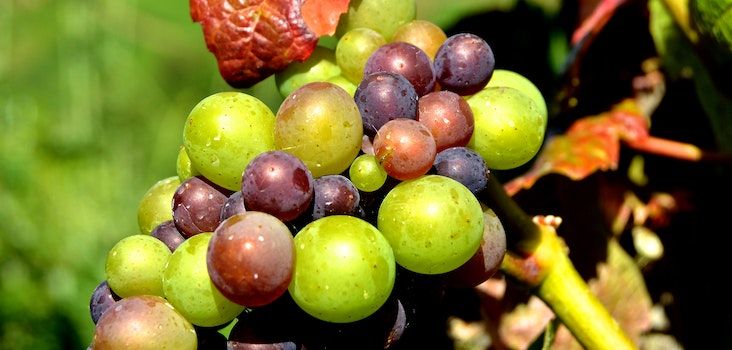 Green Grape Fruit