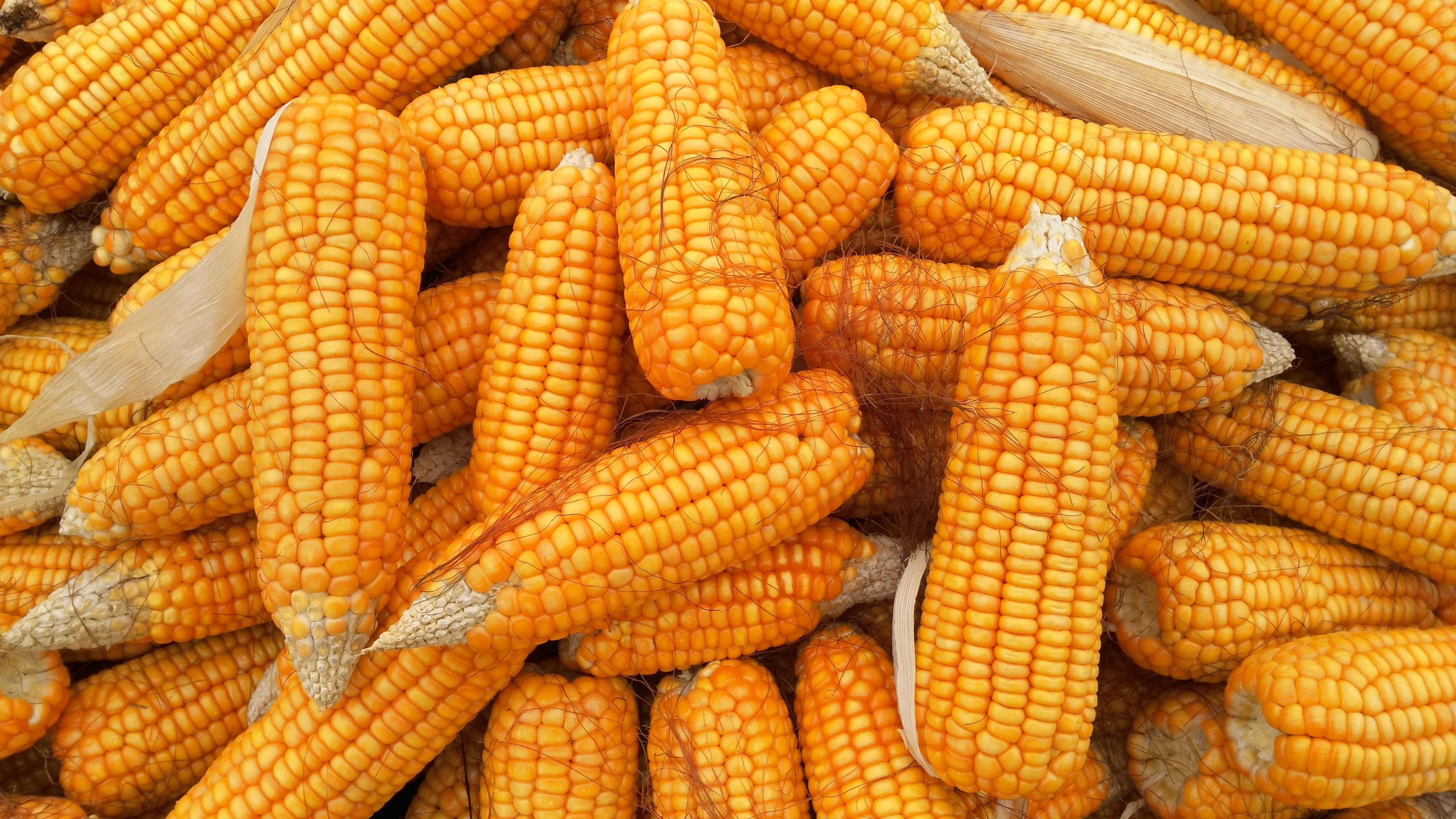 Image result for corn food festival