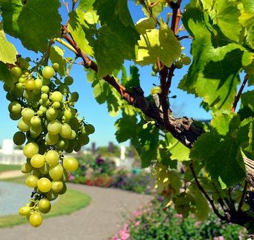 Green Grapes Fruit