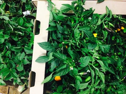Бесплатное стоковое фото с заводы, перец чили, свежие продукты