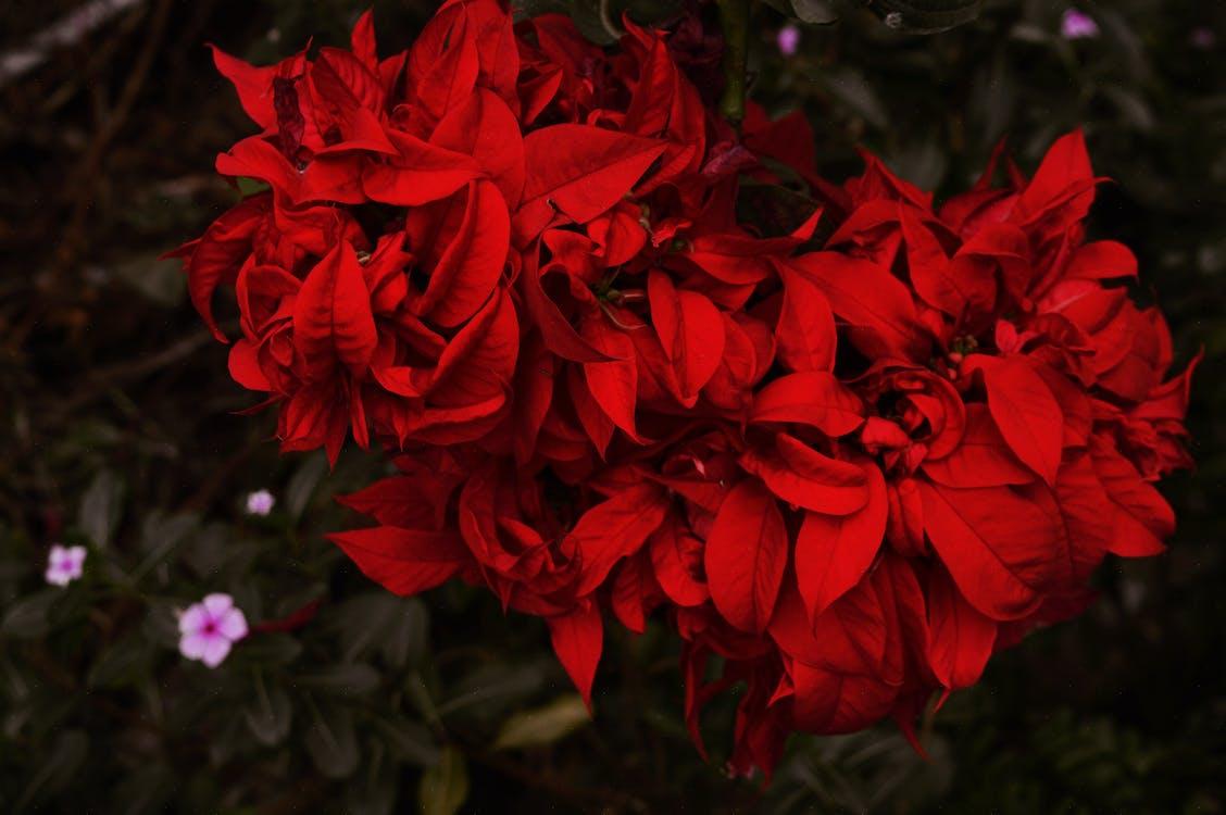 botanický, červená, červené kvety