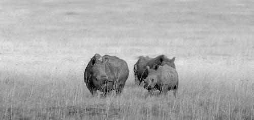 瀕危, 犀牛, 非洲 的 免費圖庫相片