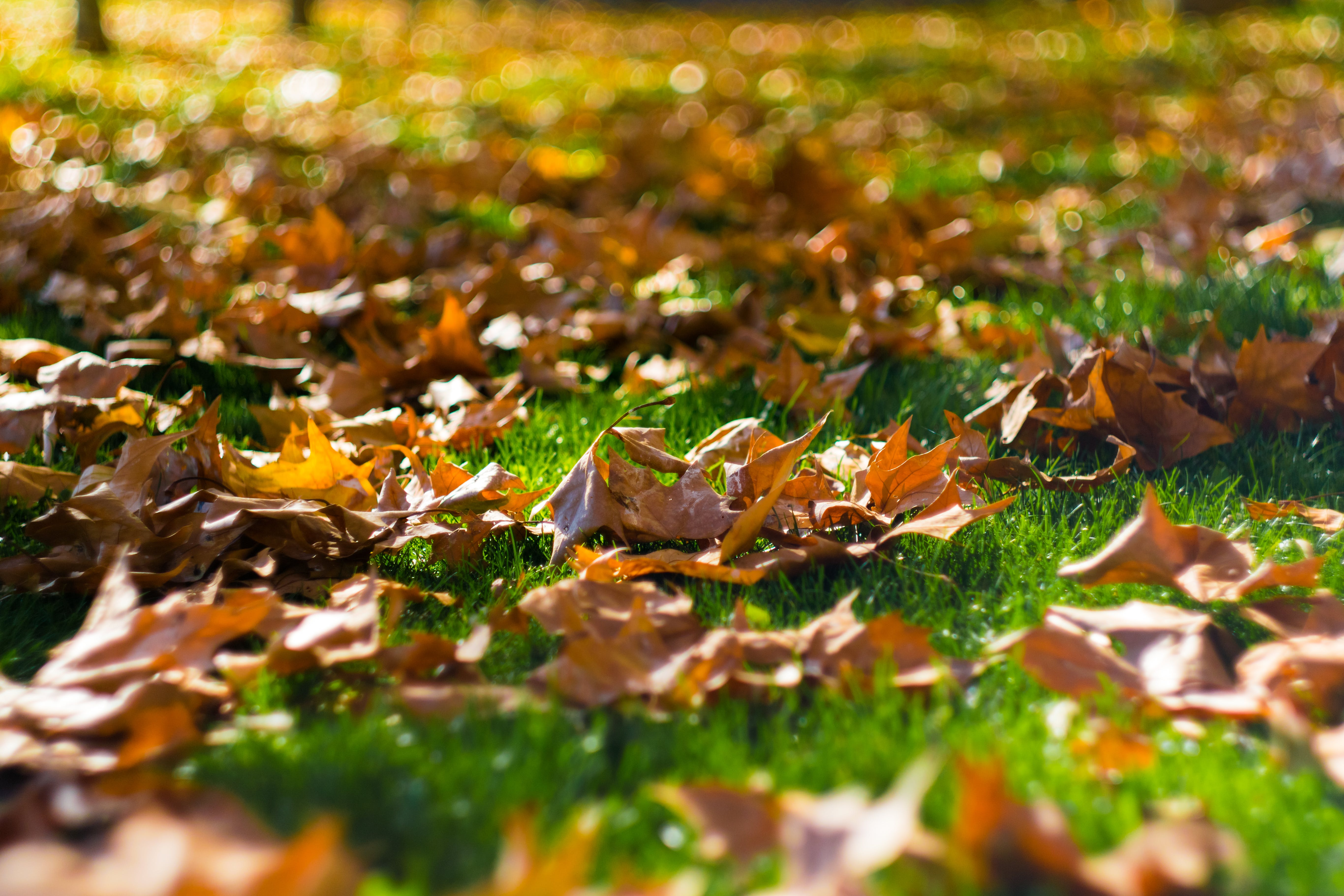 Selective Focus Photography of Brown Dried Leaves on Green Grass