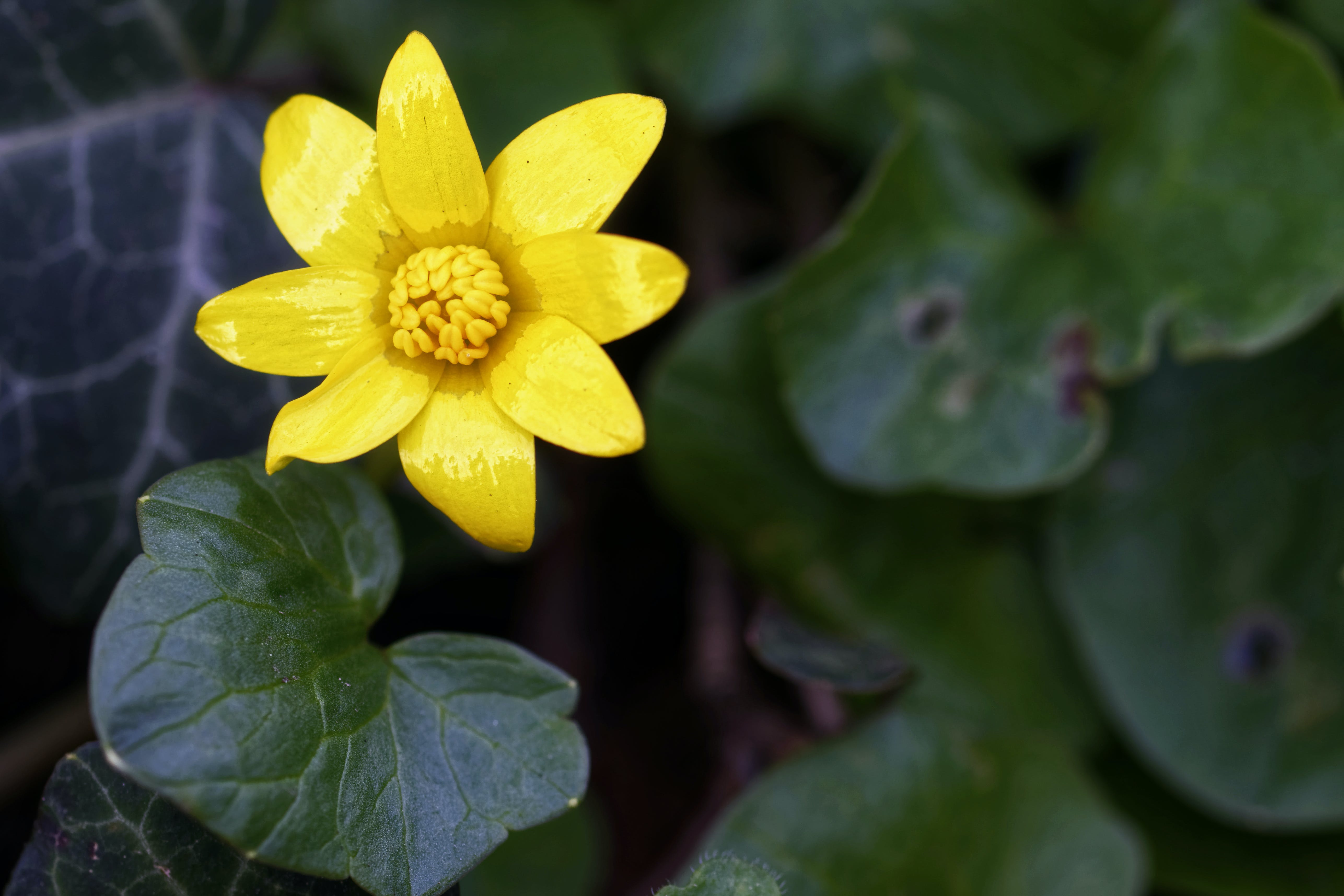 Foto d'estoc gratuïta de flor, flor groga, fulles, molla