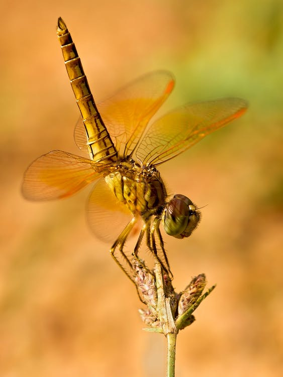 cận cảnh, con chuồn chuồn, côn trùng