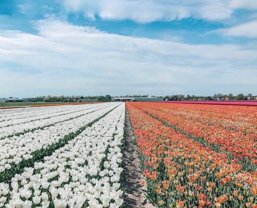 オランダ, チューリップ, チューリップ畑, 母なる自然の無料の写真素材