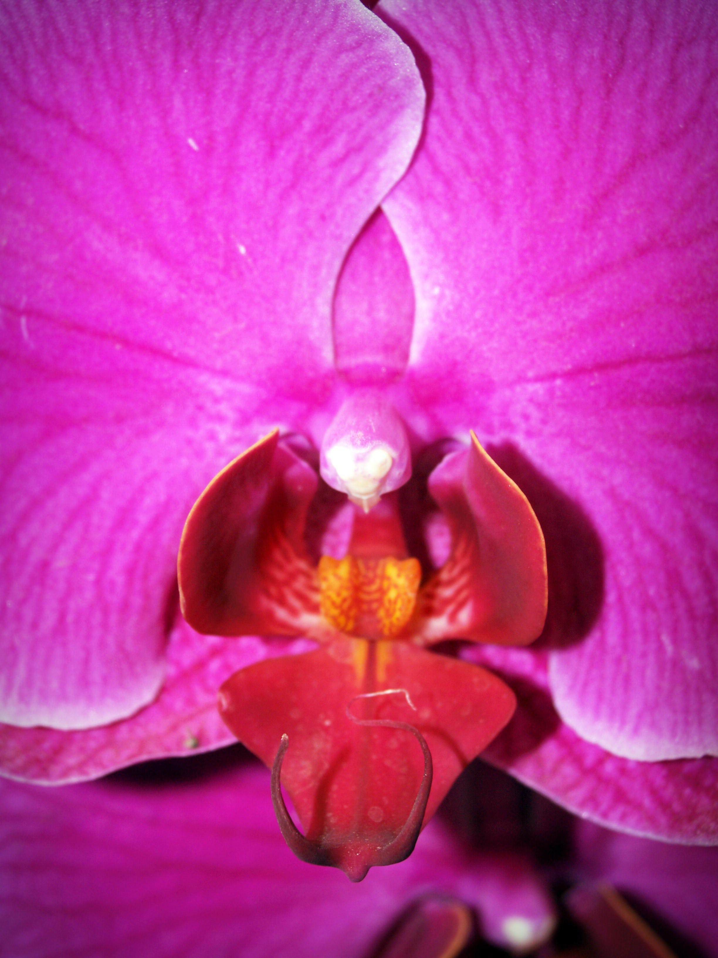 Purple and Pink Moth Orchid Flower