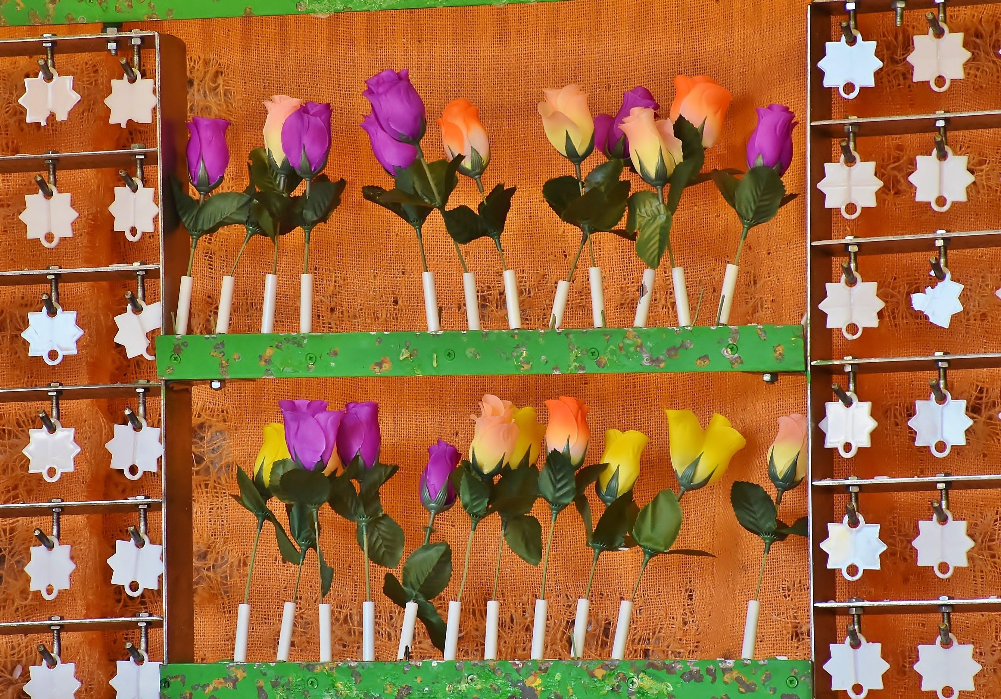 Free stock photo of roses, fair, win, shoot