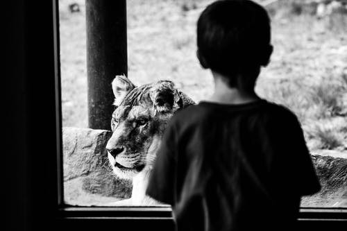 Grayscale Photography Of Boy Looking At A Lion From Glass Window