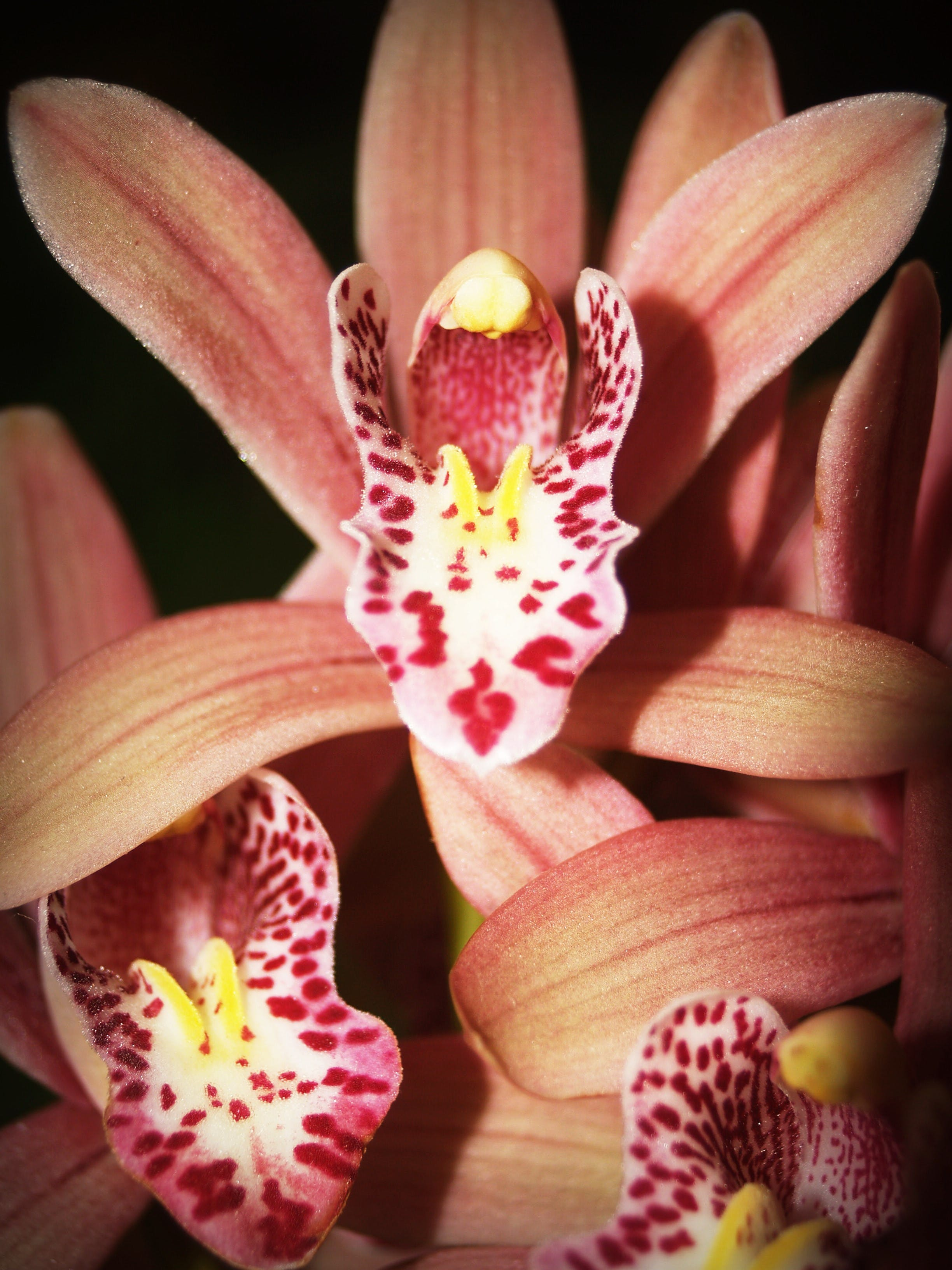 Orange-and-red Cymbidium Orchids in Bloom