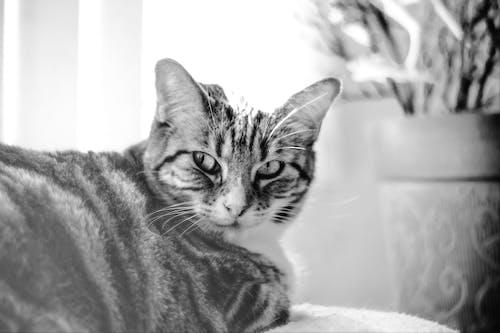 Gratis lagerfoto af kat, lille smule, meow, missekat