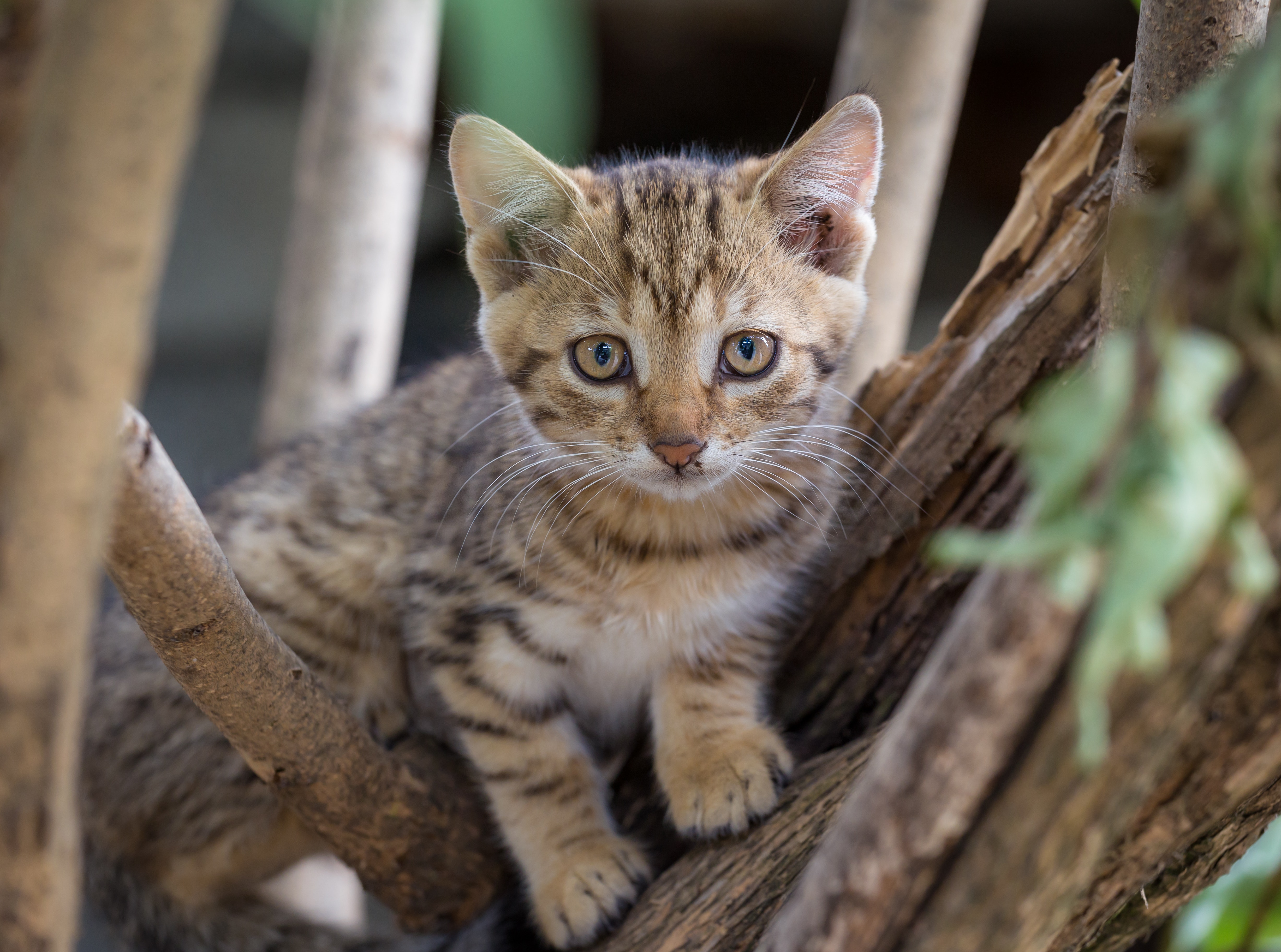 brown tabby kitten on tree branch free stock photo