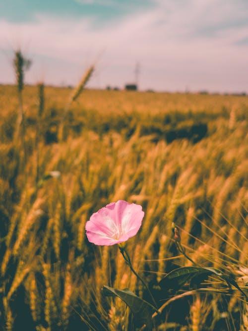 Foto stok gratis agrikultura, berwarna merah muda, bidang