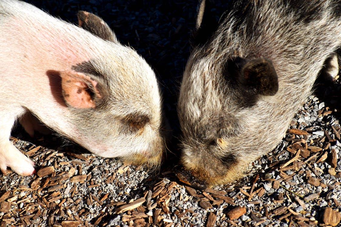 ファーム, 夏, 豚