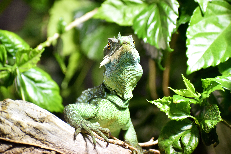 Základová fotografie zdarma na téma dešťový prales, divočina, ještěrka, leguán