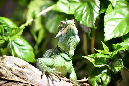 Ilmainen kuvapankkikuva tunnisteilla eläin, eläintarha, iguana, lähikuva