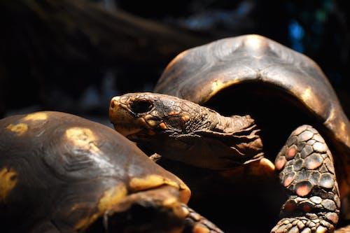 Gratis stockfoto met dierentuin, schildpad