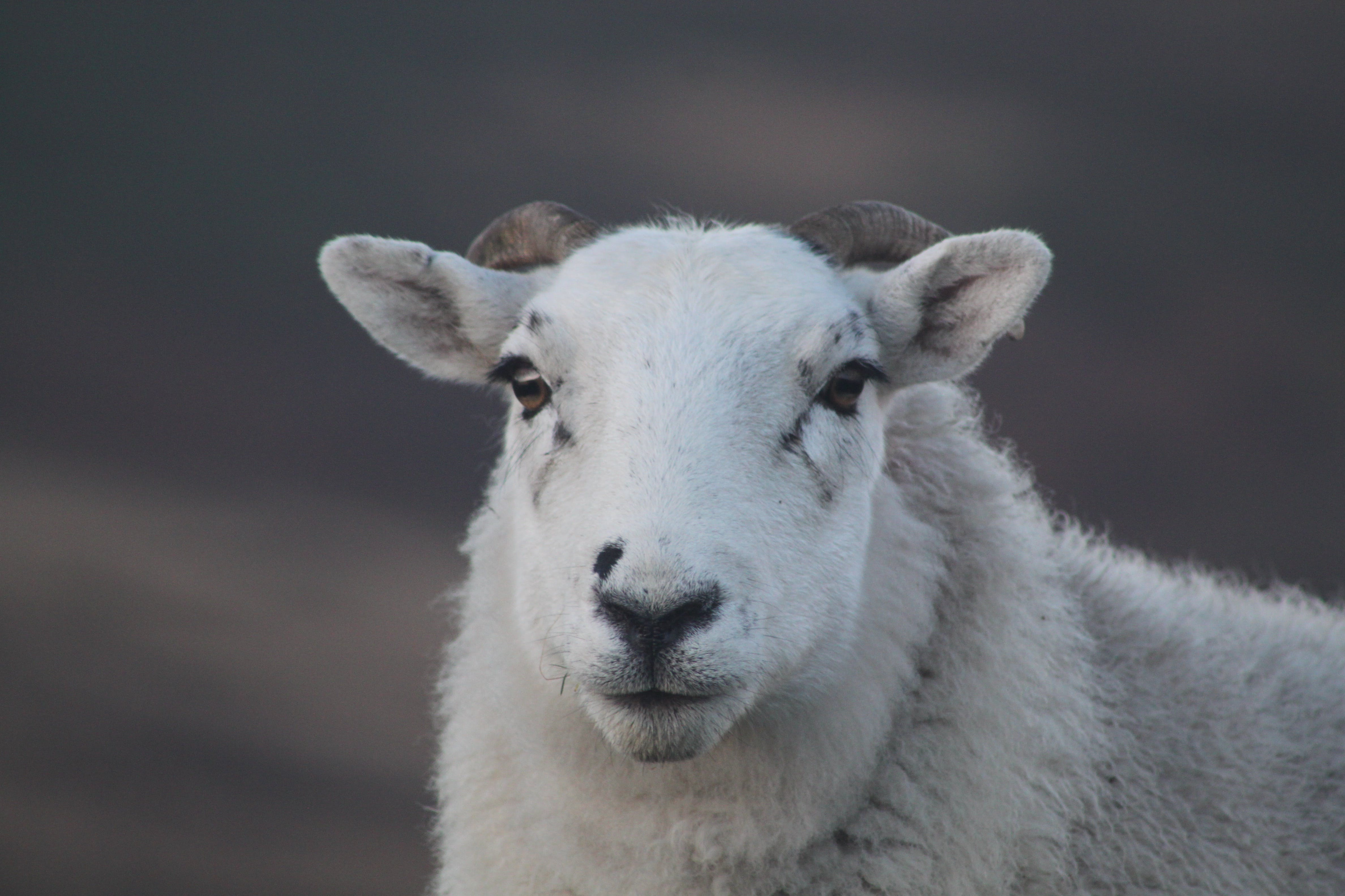 Close-up Photography of White Ram