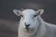 animal, sheep