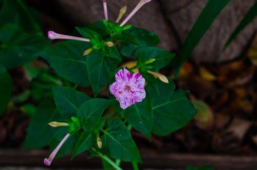 Foto d'estoc gratuïta de brot de flors, brots de flors, flor, flor rosa