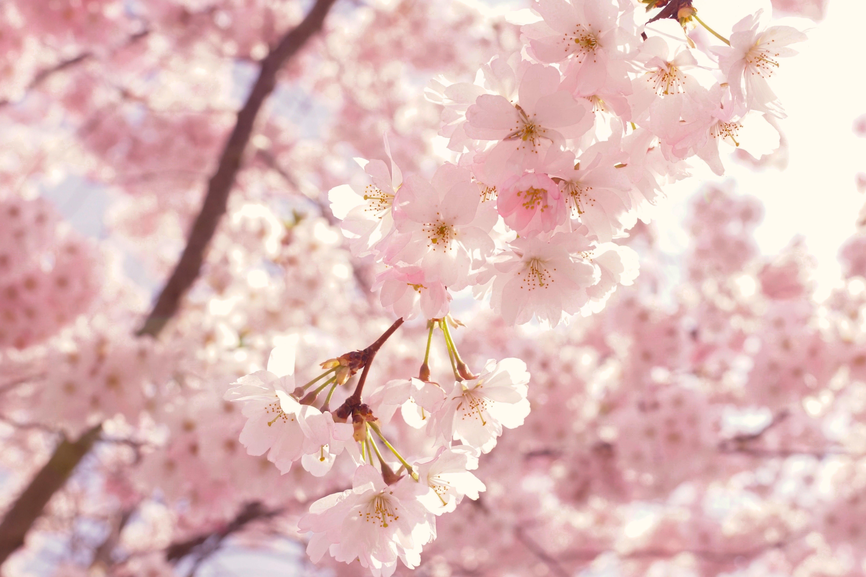 Gratis lagerfoto af blomster, blomstrende, fjeder, flora