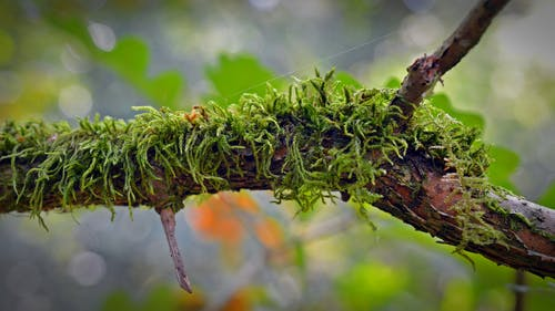 Mossy Branch Selective Focal Phoot