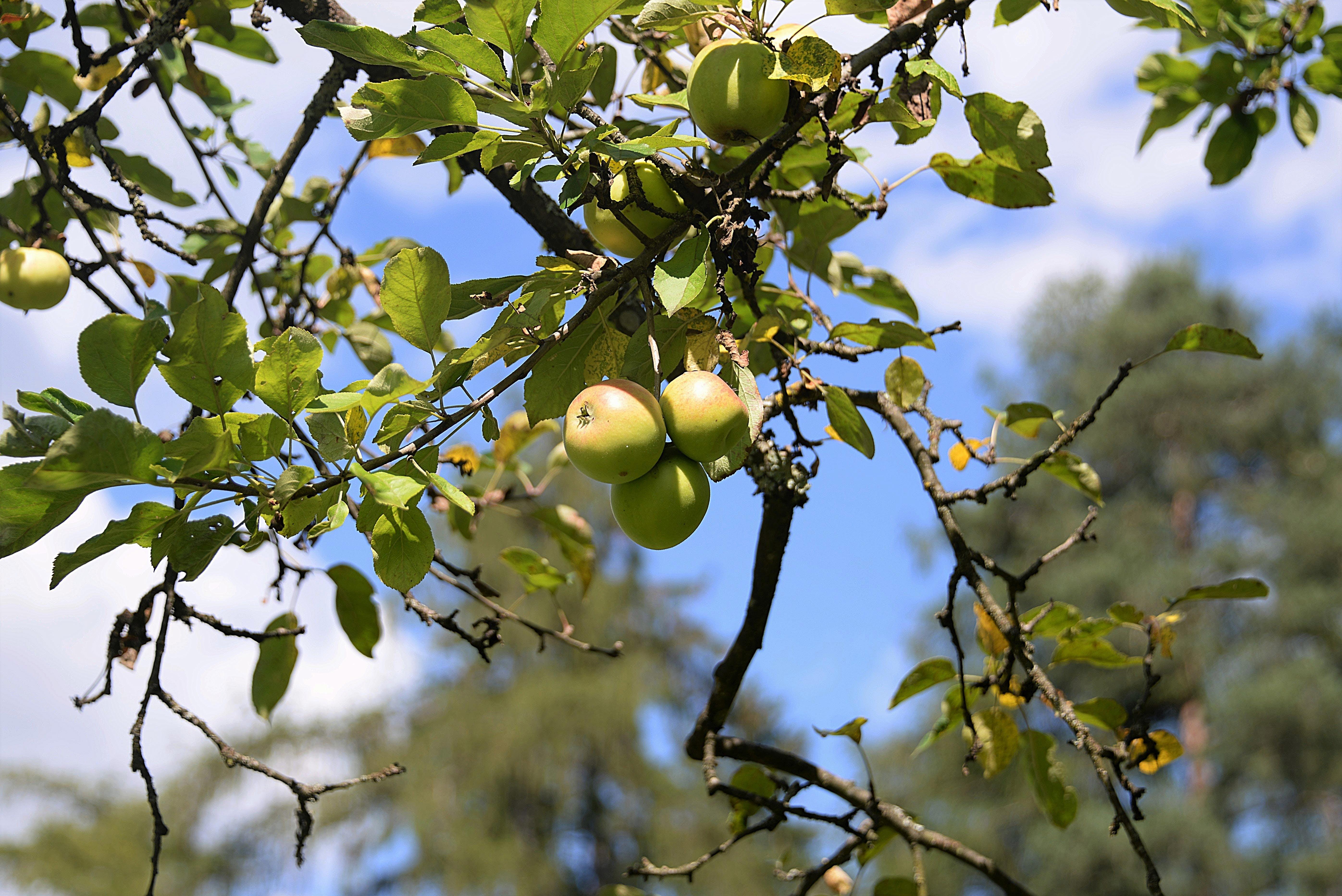 Free stock photo of road, apple, leaves, tree