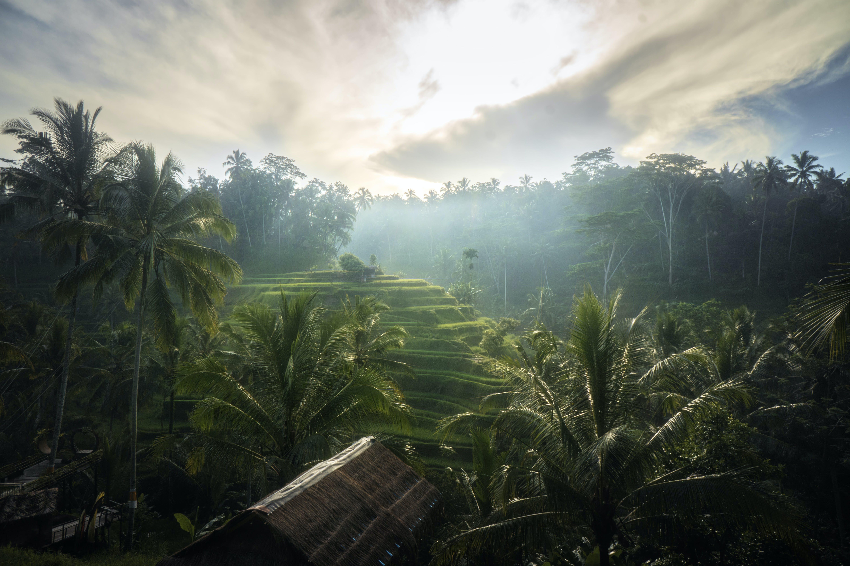 ココナッツの木, テガラランライステラス, トロピカル, バリの無料の写真素材