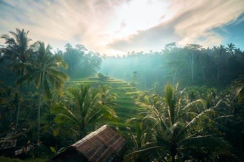 Foto profissional grátis de arrozais, bali, coqueiros, palmeiras