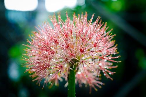 Darmowe zdjęcie z galerii z kropla rosy, krople wody, kwiat w słońcu, piękny kwiat