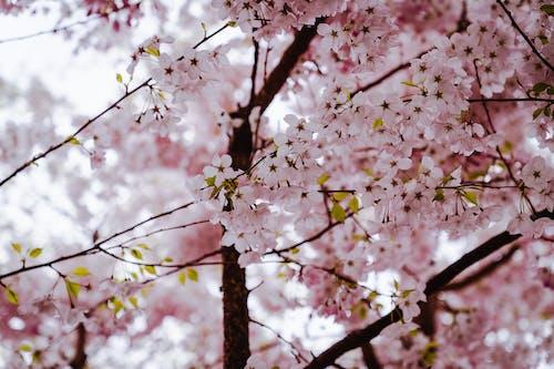 Бесплатное стоковое фото с весна, вишневое дерево, лист, листья