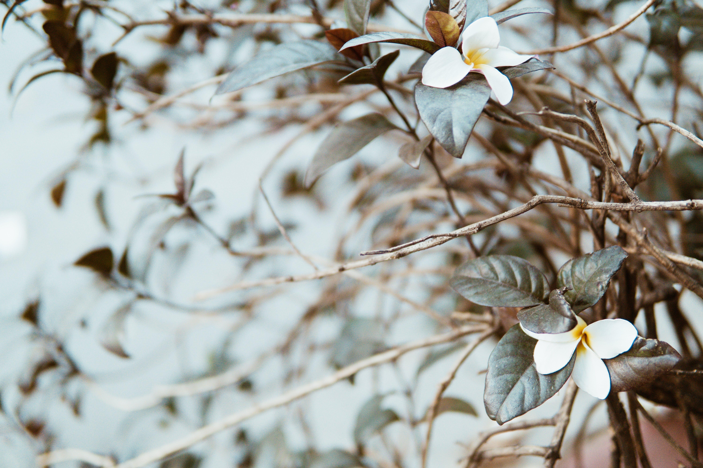 คลังภาพถ่ายฟรี ของ กลีบดอก, กิ่ง, ดอกไม้, พฤกษา