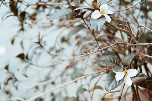 Fotobanka sbezplatnými fotkami na tému flóra, kvet ovocného stromu, kvety, kvitnutie