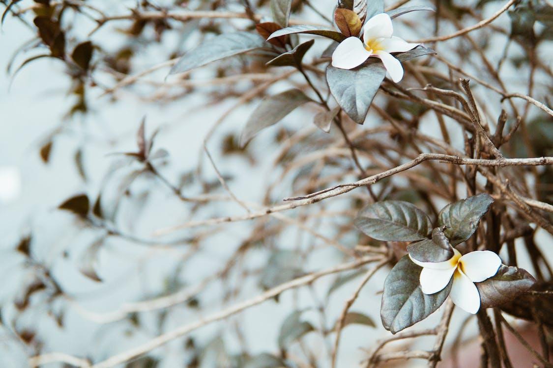 branca, flor, flora