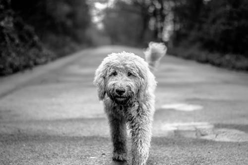 Grayscale Photo of Dog Walking on Road