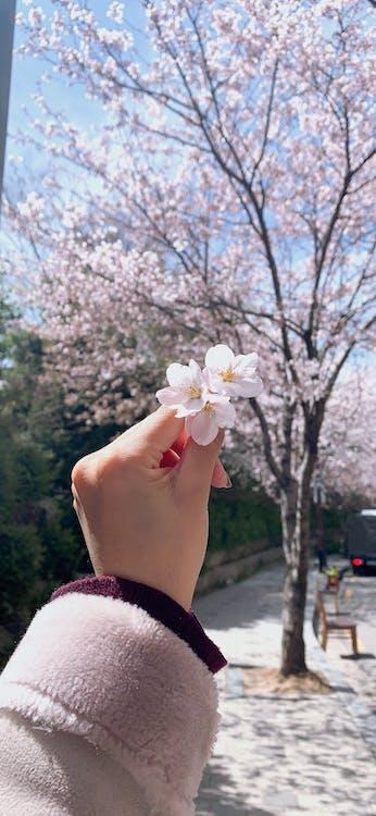 Gratis lagerfoto af blomster, kirsebær, kirsebær blomster